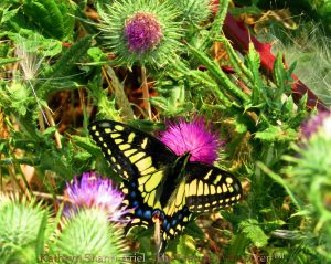 Swallowtail butterfly on thistle